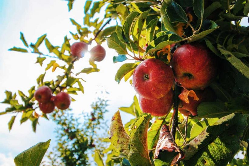 4-Things-to-Consider-when-Growing-Organic-Apple-Trees
