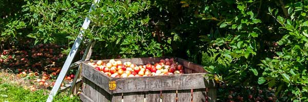 5 Things to Do While Waiting for the Apple Harvest Season to Start huge crate - 5 Things to Do While Waiting for the Apple Harvest Season to Start